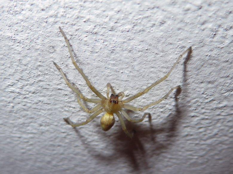 Talajlakó pókok | Pannon Enciklopédia | Kézikönyvtár