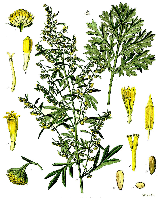 Az üröm (Artemisia) gondozása – 5 üröm faj bemutatása képekkel