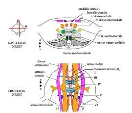 A központi idegrendszer - HáziPatika