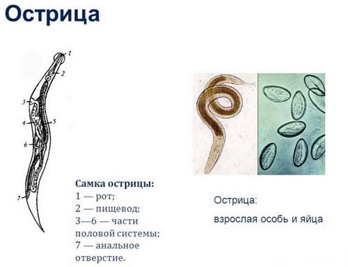 enterobiosis biomaterial emberi papillomavírus fertőzés bennünk