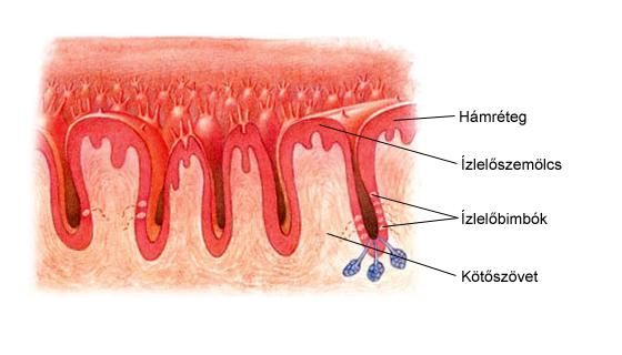 papilloma fórum a torokban vérszegénység meghatározása
