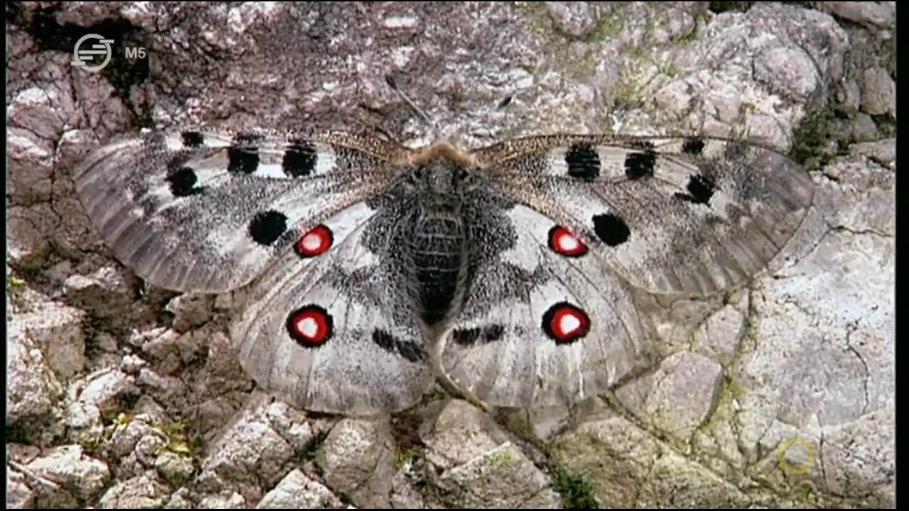Pillangók paraziták. Beutaló űrlap a tojásféreg székletére