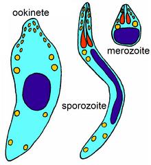 Apicomplexan paraziták meghatározása.