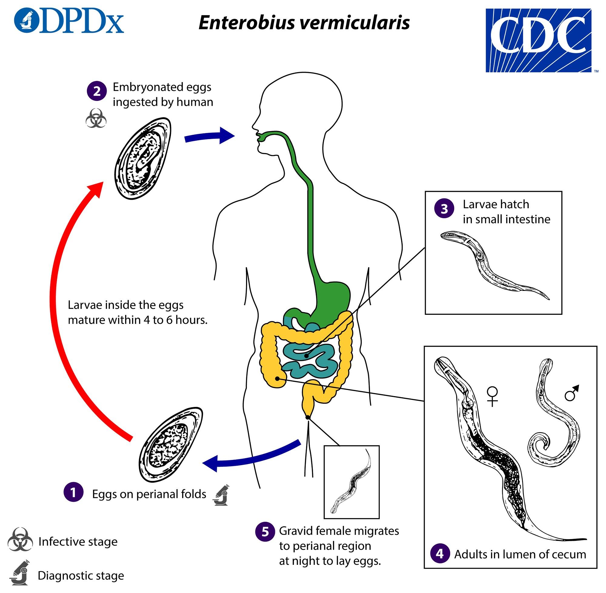 a parazita pinworms