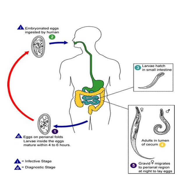 oxyuris vermicularis ciklus)
