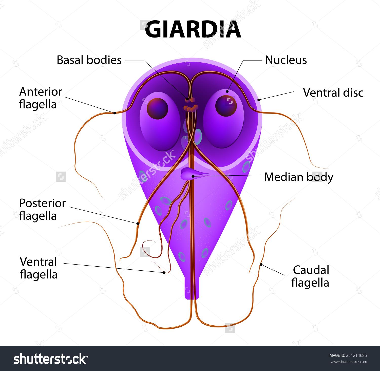 giardia epevezetékek