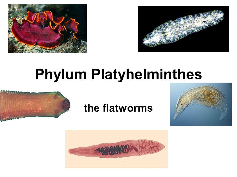 Platyhelminthes coelom, Férgek eltávolítása