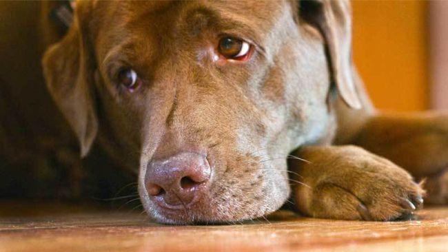 Szájüregi daganatok kutyáknál és macskáknál – Wikipédia