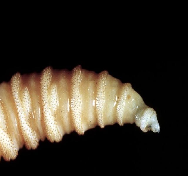 paraziták, mint tabletták féreggyógyszer a tablettát használóknak