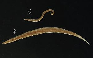Enterobius vermicularis (Gombféreg) Enterobiosis férgek