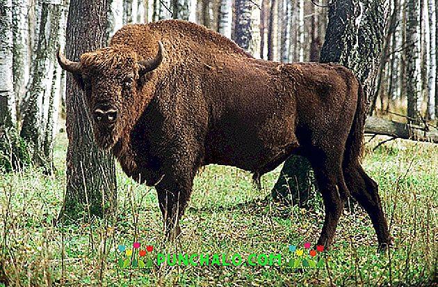 a bika bőrének leírása