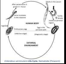 Mik azok a bélférgek?, Mi a veszélyes enterobiosis?