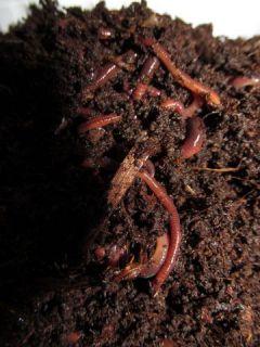 Milyen típusú földigiliszták vannak. Kerti segítők – mindent a földigilisztákról