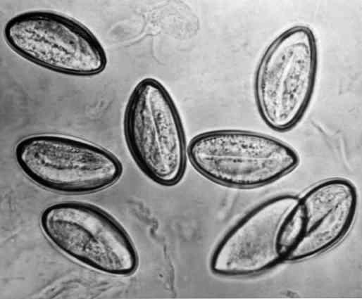 enterobius vermicularist tartalmaz mi egy kis condyloma