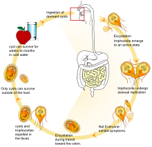 giardiasis angolul Olcsó, de hatékony gyógyszerek a férgek ellen
