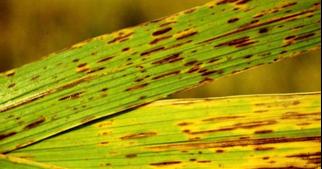 pikkelyes papilloma garat rákos kupak sablon