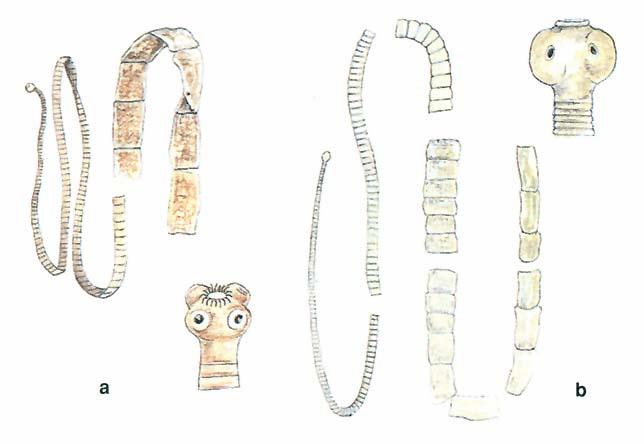 laposféreg emberi fonálférgek