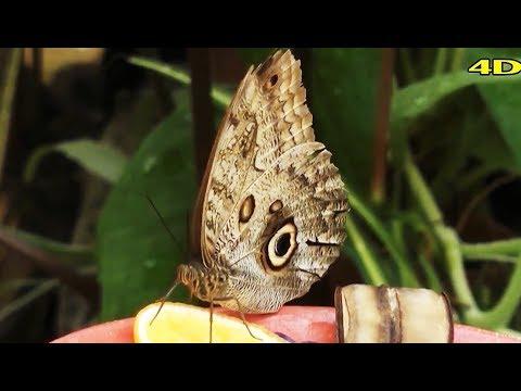 nyaki platyhelmint pillangók