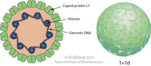 papilloma vírus 53. genotípus