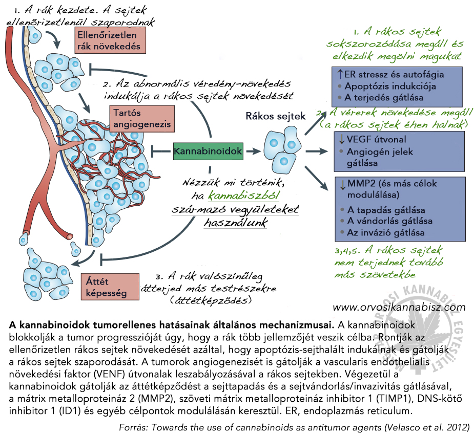 Összefoglaló a kannabinoidok rákellenes hatásairól