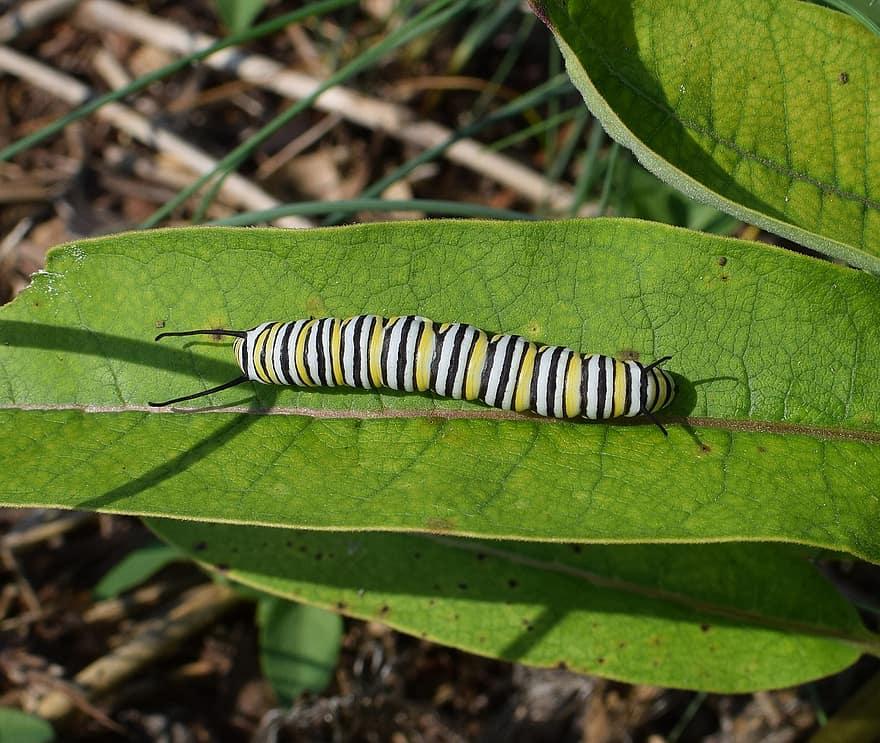 Thaumetopoea, pityocampa, féreg, hernyó, rovar, szőrös, lárva, veszélyes, pestis, fa