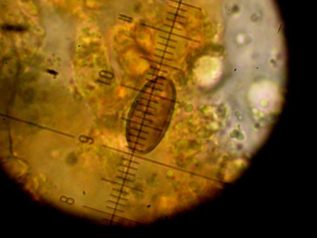 helminthosporium clavariarum