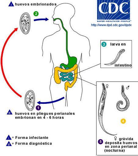 enterobius vermicularis hasmenés