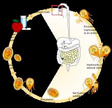 Giardia antigen. Giardia-fertőzés (giardiasis)