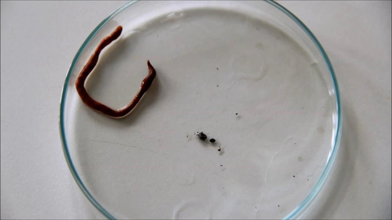 milyen típusú giliszták nőstény papillomavírus