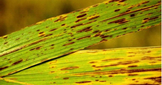 Helminthosporium oryzae padi