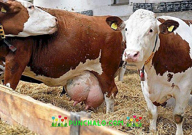 szarvasmarhák papillómái, mint kezelni)