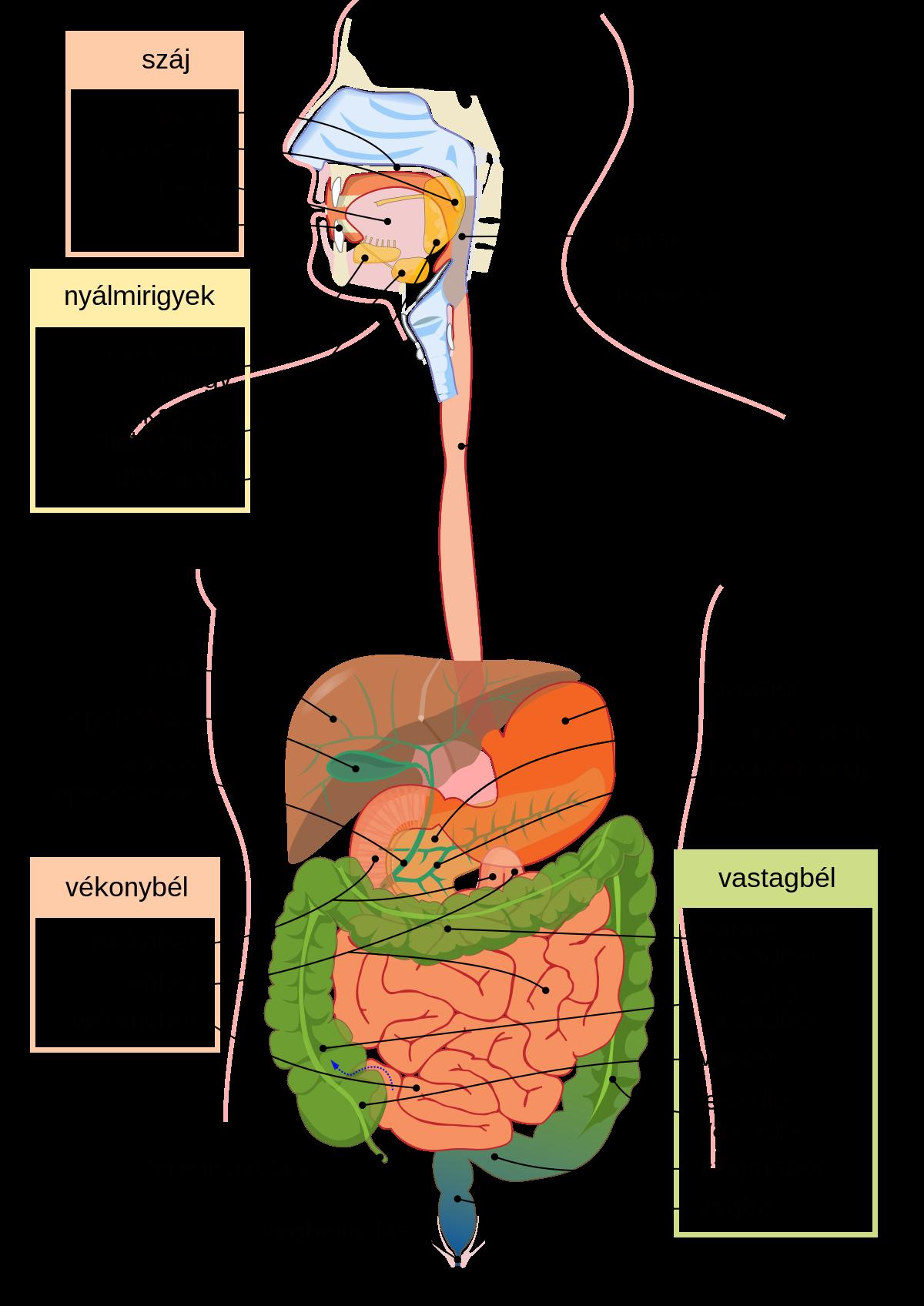 platyhelminthes táplálkozás és emésztés papillon zeugma yorum